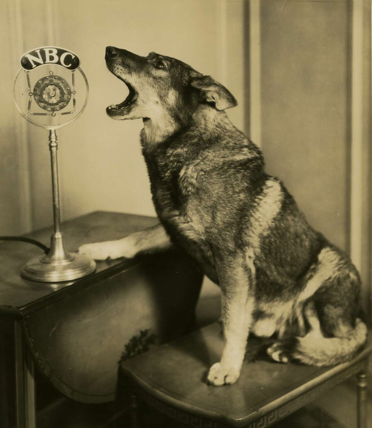 The animal actor Rin Tin Tin was born in 1918. Here, he barks into a microphone during a broadcast of NBC's 'Rin Tin Tin Thriller' in Chicago, Illinois, in 1927.