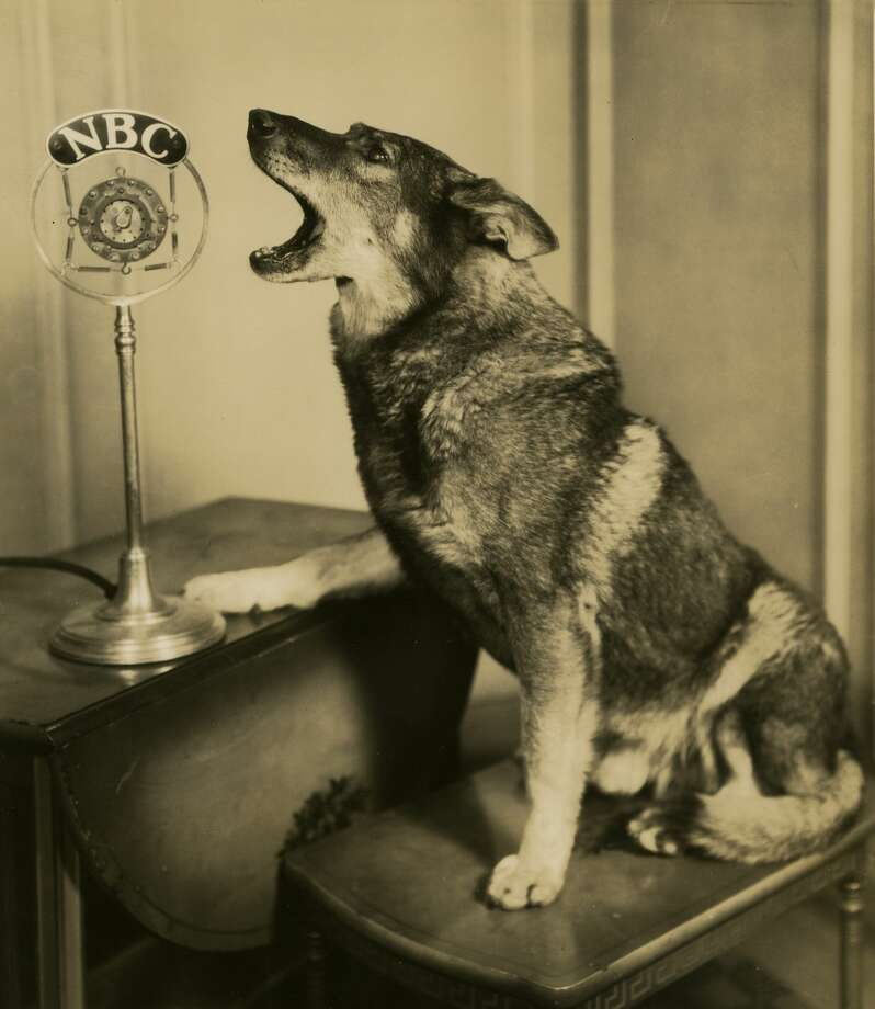The animal actor Rin Tin Tin was born in 1918. Here, he barks into a microphone during a broadcast of NBC's 'Rin Tin Tin Thriller' in Chicago, Illinois, in 1927. Photo: Visual Studies Workshop/Getty Images