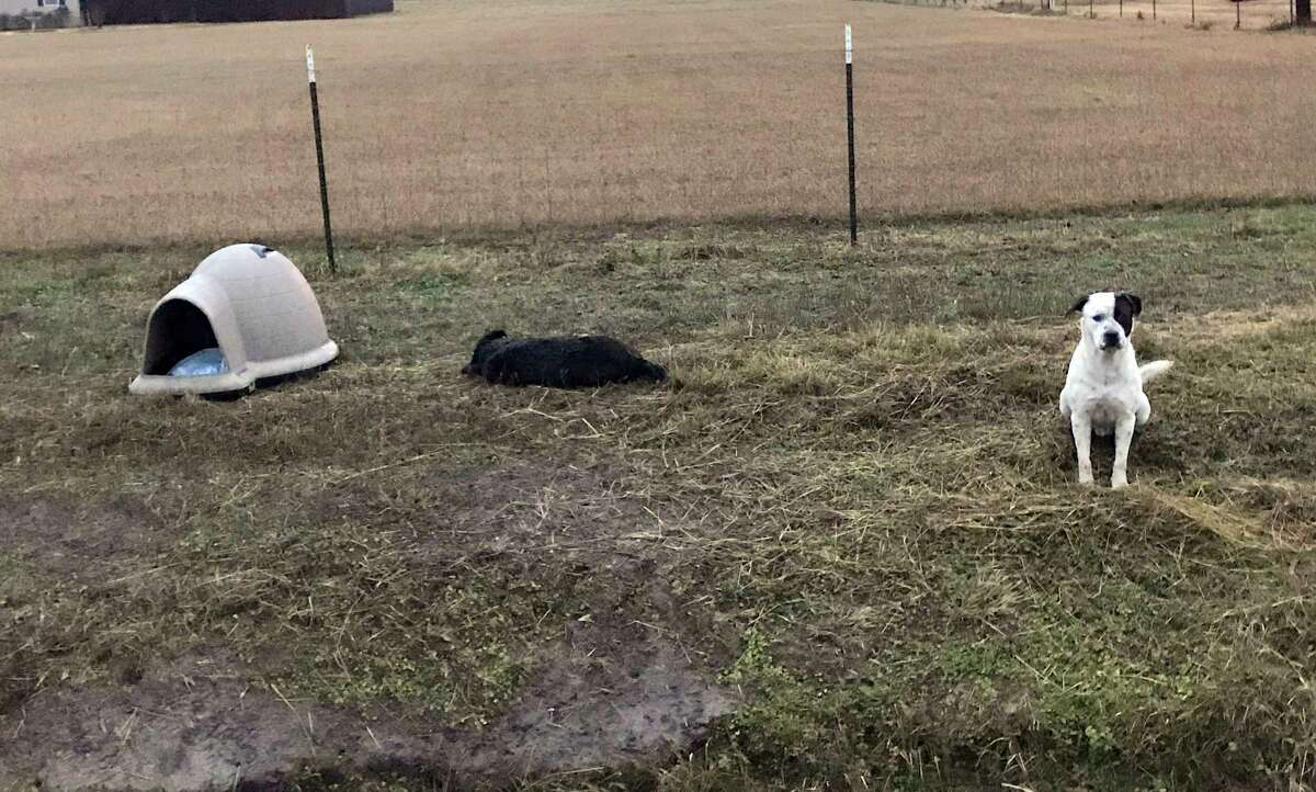 Two dogs were abandoned on a rural county road in Liberty County several days ago. After one dog was struck and killed by a car, the other dog refused to abandon his deceased friend despite the urging of several people who tried to rescue him.