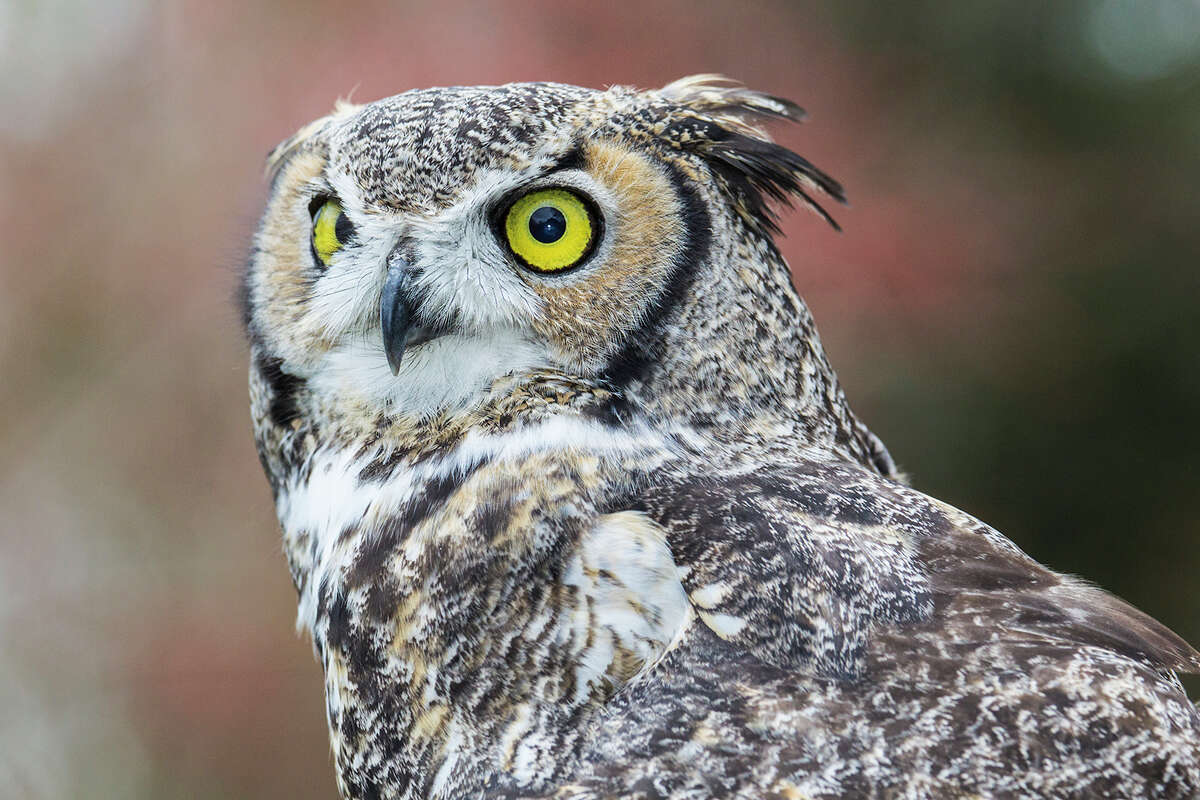 Great horned owls live in neighborhoods, forests, prairies, swamps, and agricultural fields. Listen for their calls on winter nights. Photo Credit: Kathy Adams Clark. Restricted use.