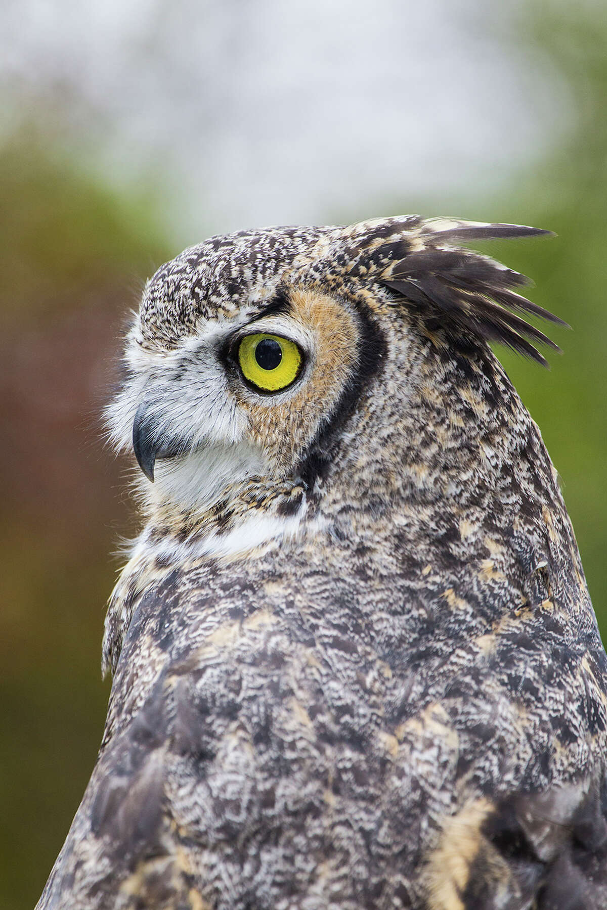 It's mating season for great horned owls. You might hear them on New Year's Eve.