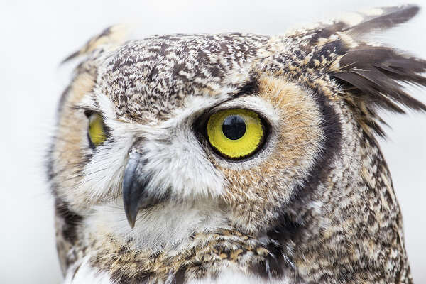 Listen for great horned owls as the clock strikes midnight