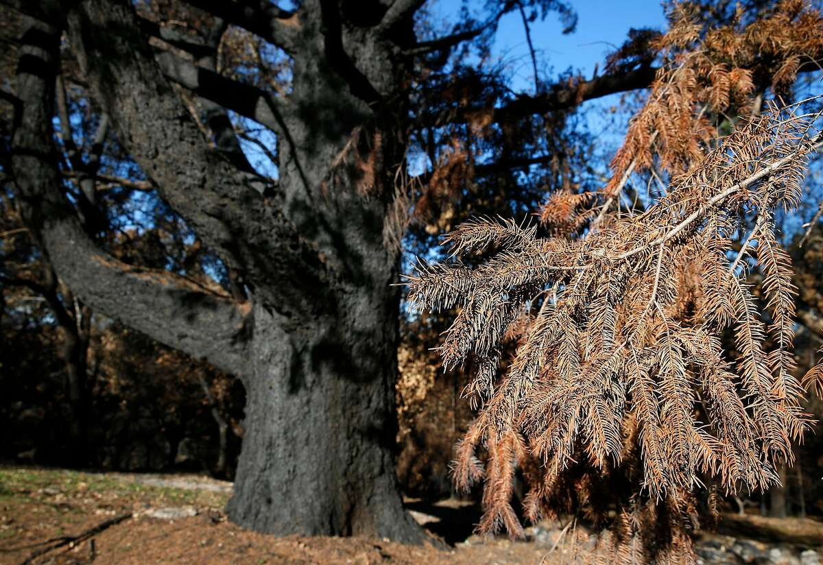 Needles of a tree that burned in the Tubbs Fire are brown and dry on Meadowcroft Way in Santa Rosa, Calif. on Thursday, Dec. 28, 2017.
