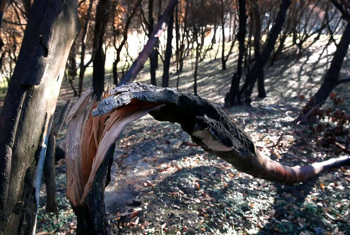 A scorched tree that broke apart during the Tubbs Fire is seen in a forested area in the Fountaingrove neighborhood of Santa Rosa, Calif. on Thursday, Dec. 28, 2017.