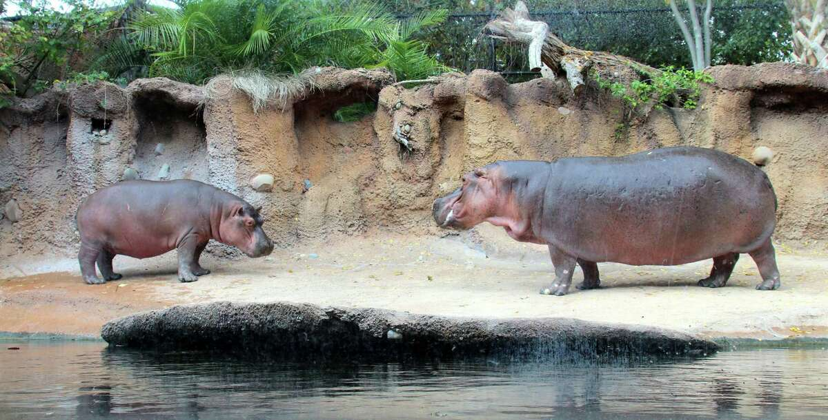 An anonymous donor won the rights to name the two-year-old hippo at this years Zoobilation Ball and selected the name Timothy, pictured left.
