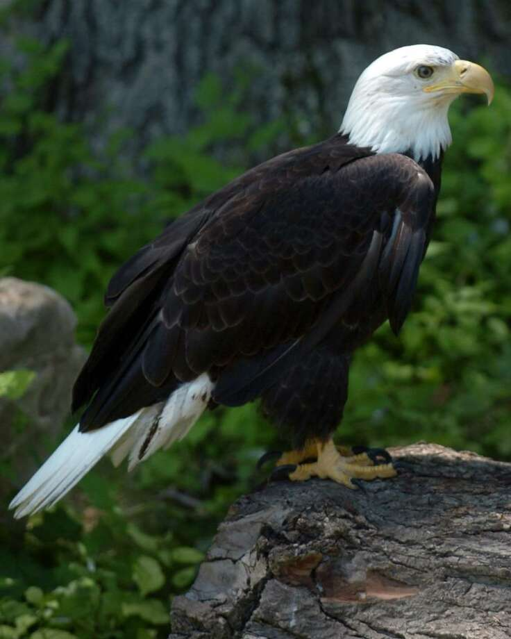 One of the Bald Eagles recently introduced at Connecticut's Beardsley Zoo, in Bridgeport, Conn., in Bridgeport, Conn. June 30th, 2010. Photo: Ned Gerard / Connecticut Post