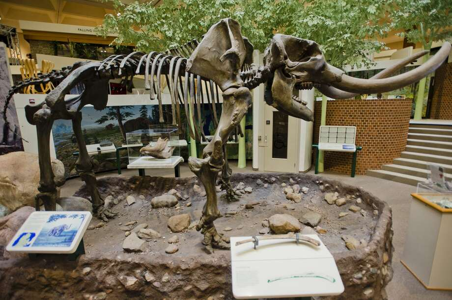 "The Alden B. Dow Museum of Science and Art will bid farewell this week to their beloved mastodon skeleton, nicknamed ""Manny,"" as it will be restored and will move to a new home at the Herbert D. Doan Midland County History Center. (Katy Kildee/kkildee@mdn.net) Photo: (Katy Kildee/kkildee@mdn.net)"