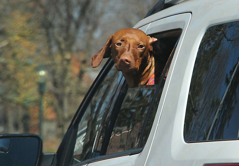 """Tesla cars may soon come with a special """"dog mode"""" feature that offers a solution to leaving your pet alone in a sweltering parked car. Photo: Lori Van Buren, Albany Times Union"""
