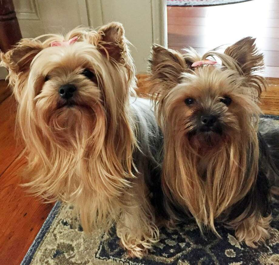 One of Portland couple William and Ann Barrows' Yorkies Lizzie, right, died Nov. 15 after a Rottweiler/Labrador mix got away from his owner, grabbed her and shook her on Main Street. At left is Lola. Photo: Contributed Photo