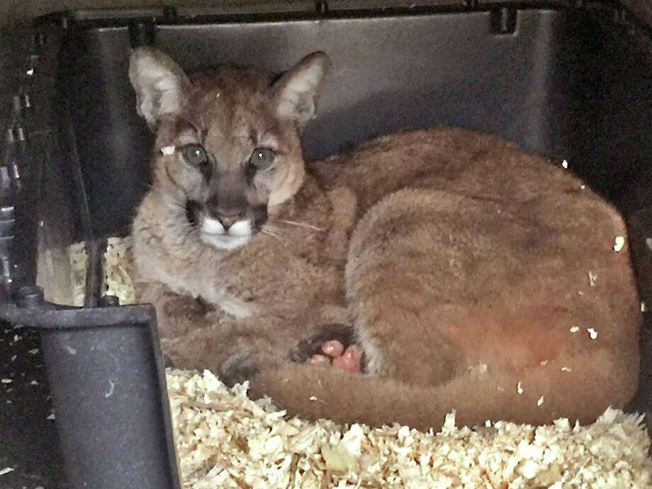 Mountain lion kitten burned in calif wildfire gets for California department of fish and wildlife jobs