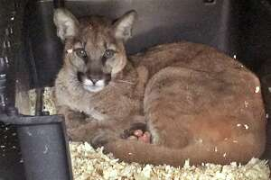 A five-month-old mountain lion severely burned in Ventura County's Thomas Fire is being treated with fish skin.