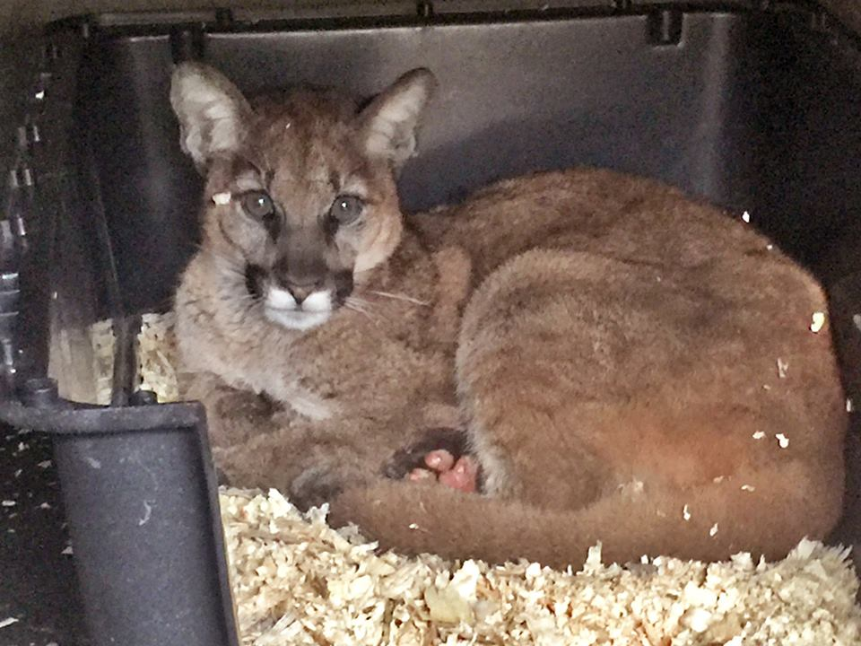 Mountain lion cub badly burned in SoCal fire gets new home in North Bay -  ExpressNews.com 0fb0be1f1c5