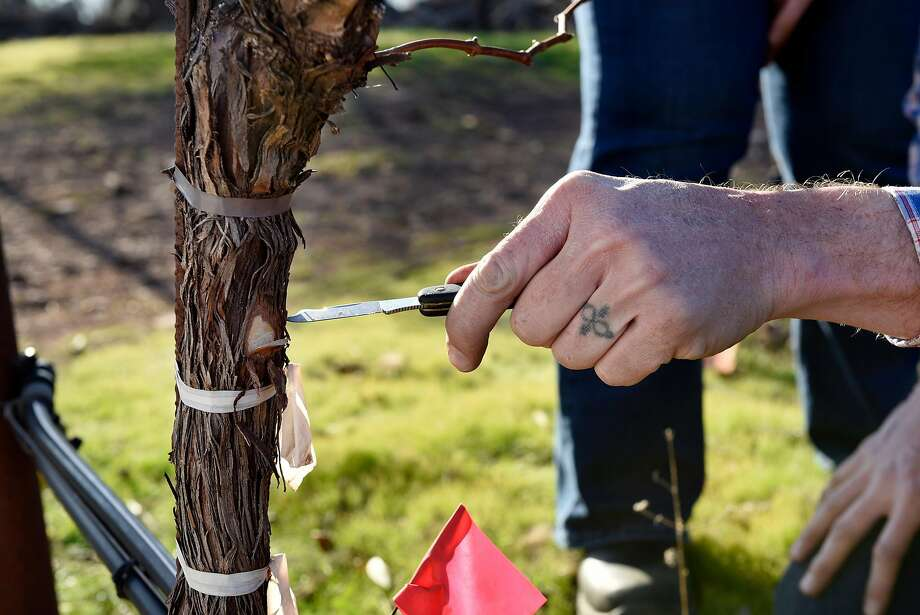 Lambert Bridge vineyard manager Scott Knippelmeir makes a cut into a Cabernet Sauvignon vine as he checks for smoke and fire damage. Photo: Michael Short, Special To The Chronicle