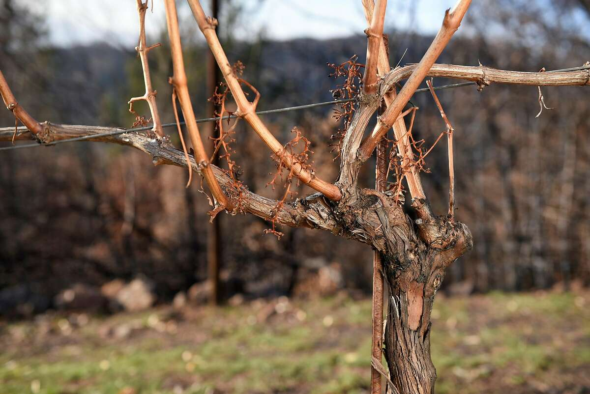 Charing is seen on fire damaged Cabernet Sauvignon vines at Gilfillan Vineyard, owned by Lambert Bridge Winery, in Glen Ellen, Calif., on Monday December 18, 2017.