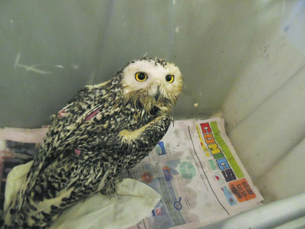 Christmas Day female snowy owl just after being cleaned up. (Wildlife Recovery Association photo)