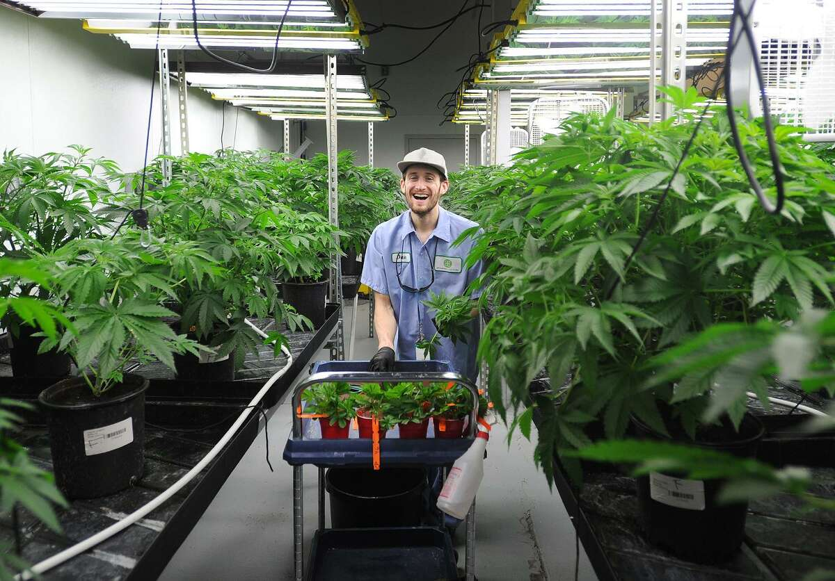 Head production manager Dain Colandro takes cutting of new medical marijuana strains at Advanced Grow Labs in West Haven, Conn. on Wednesday, June 10, 2015.