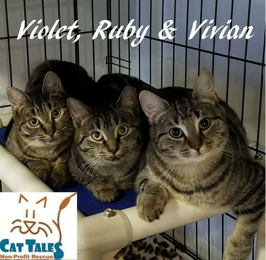 Violet, Ruby and Vivian are 3 siblings rescued by the Middletown Animal Control Officers while working on a large TNR project. These girls have so much potential despite their shy nature. We're hoping for a New Years miracle that finds them a perfect, patient and compassionate family that will understand their bond to stay together. Call 860-344-9043 or email info@CatTalesCT.org. Photo: Contributed Photo