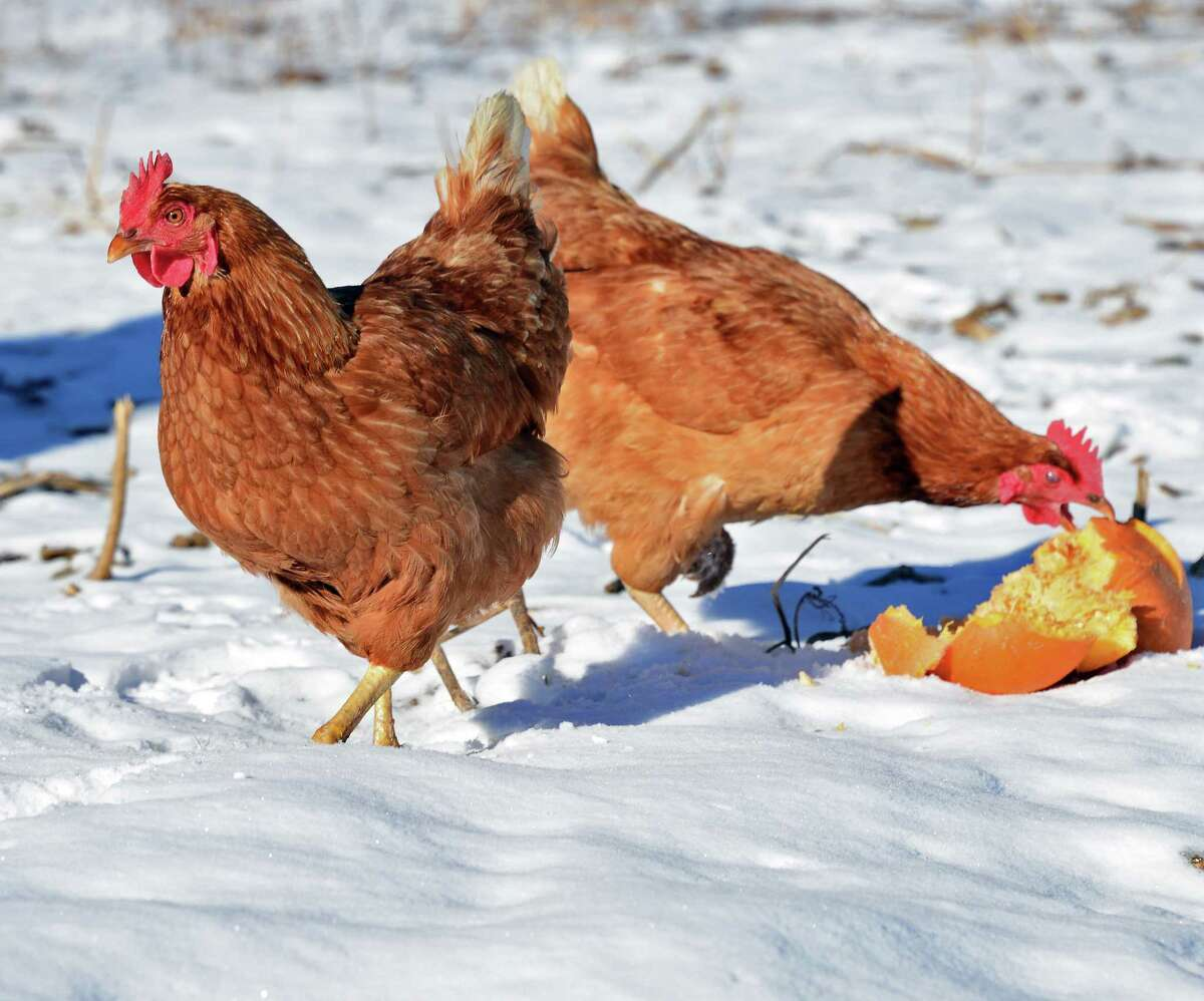 Free range chickens in a pasture at Laughing Earth Farm Thursday Dec. 14, 2017 in Cropseyville, NY. (John Carl D'Annibale / Times Union)