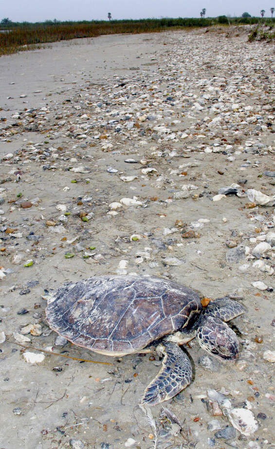 Juvenile green sea turtles such as this deceased young turtle washed ashore on Matagorda Island are one of several coastal marine species vulnerable to life-threatening effects of low water temperatures from the siege of cold weather gripping Texas bays. Photo: Shannon Tompkins