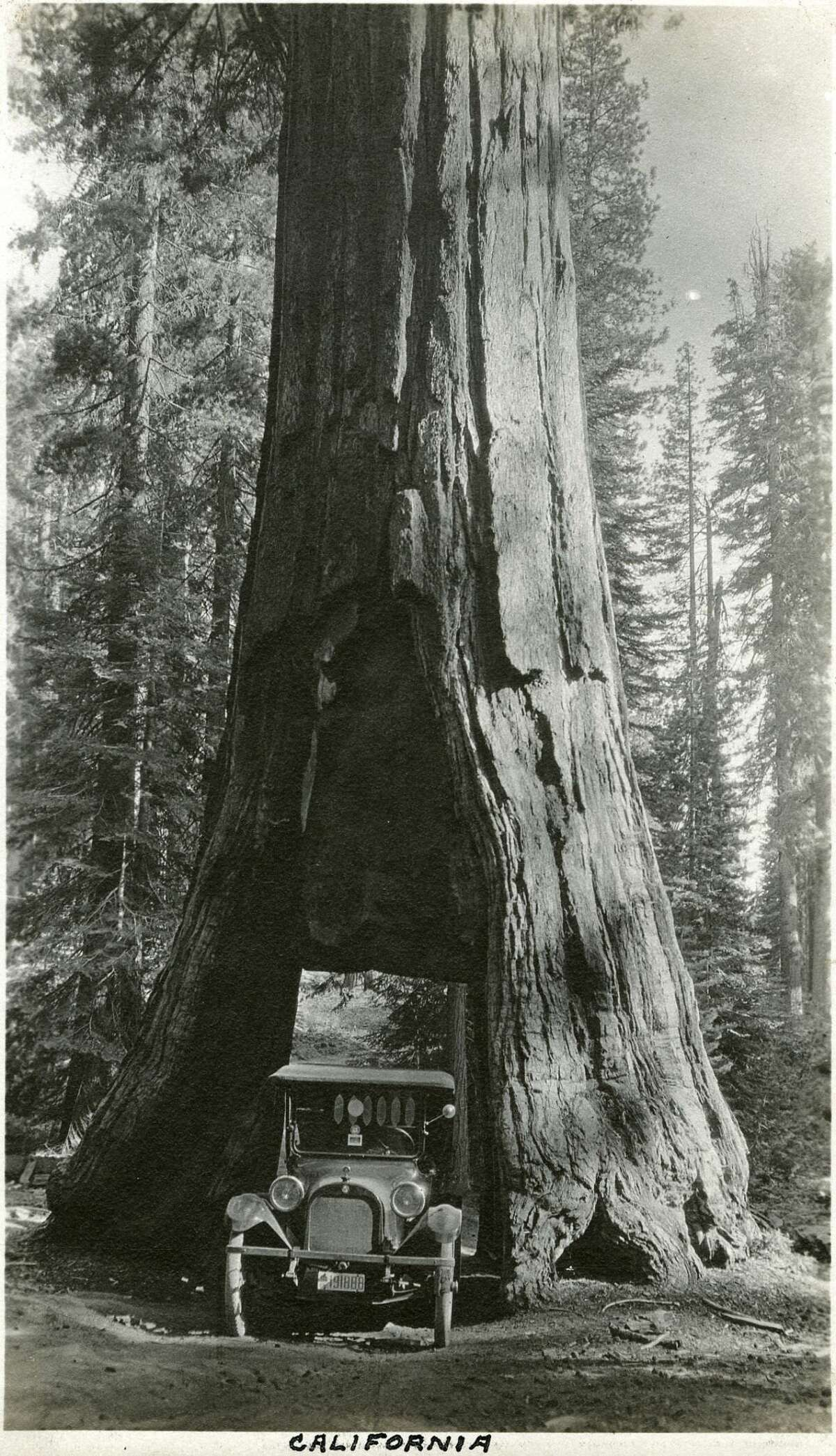 """Caption: """"California,"""" c, 1917. The McCarthy's vehicle is squeezed into the tunnel carved through the California Tree, a Giant Sequoia in the Mariposa Grove of Yosemite National Park. The tunnel was cut through the tree in 1895 to facilitate travel on the road into the grove, and also as a tourist attraction. It is now the only living Giant Sequoia with a tunnel cut through it (so-called """"tunnel trees""""), the others having all fallen. [Caption source: California State Archive]"""
