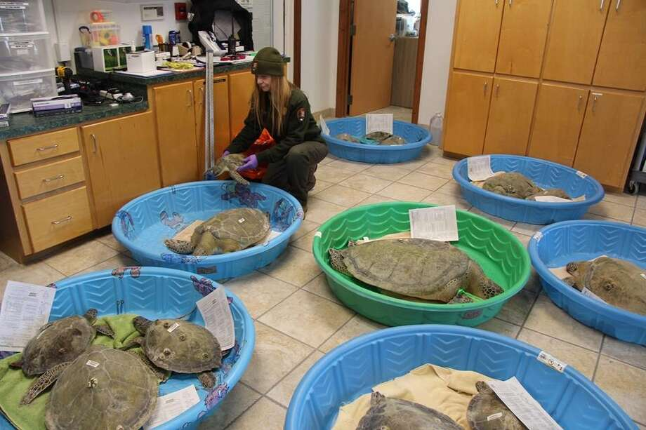 Handfuls of sea turtles were scooped up this week near South Padre Island after temperatures suddenly dropped, stunning the animals. Turtles were taken to the nearby Sea Turtle, Inc. to warm up. Photo: Courtesy/Texas Parks And Wildlife Department