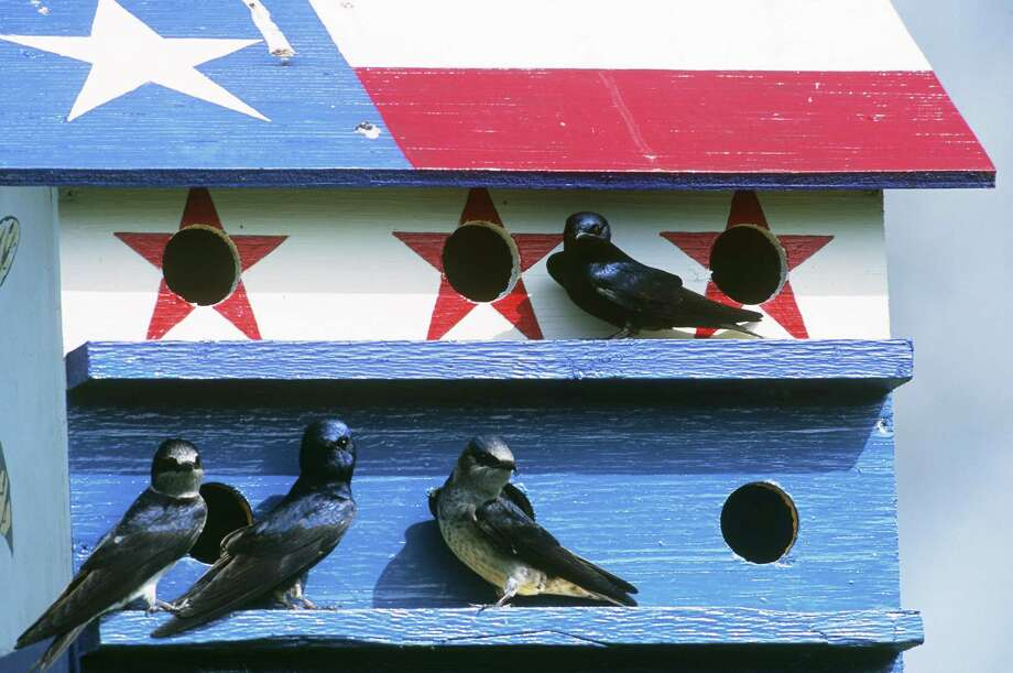 Purple martins are a great addition to the landscape. Their friendly chatter and sweeping flight patterns are complemented by the drama of their rivalries with English sparrows, the visibility of their family life, and loyalty to the birdhouses that they return to each year. Photo: Gilbert S. Grant /Getty Images / Science Source / This content is subject to copyright.