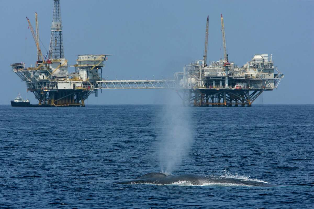 A rare and endangered blue whale, one of at least four feeding 11 miles off Long Beach Harbor in the Catalina Channel, spouts near offshore oil rigs after a long dive July 16, 2008, near Long Beach, California.