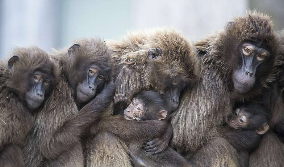 File photo - In this Jan 3, 2018 photo several female Gelada baboons, also known as bleeding-heart baboons, cuddle with their young in order to keep warm at the Wilhelma zoo in Stuttgart, Germany.  Photo: Sebastian Gollnow, Associated Press