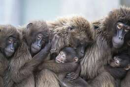 In this Jan 3, 2018 photo several female Gelada baboons, also known as bleeding-heart baboons, cuddle with their youngs in order to keep warm at the Wilhelma zoo in Stuttgart, Germany. (Sebastian Gollnow/dpa via AP)