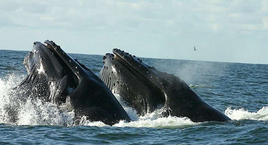 FILE – Humpback whales lunge feed in tandem off the Bay Area Coast in the Gulf of the Farallones National Marine Sanctuary in this file photo. Sometimes humpbacks aren't too careful about what goes in their mouths. Check out the photo below that shows a humpback whale accidentally eating a sea lion. Photo: Tom Stienstra, Cornelia Oedekoven / Courtesy NOAA