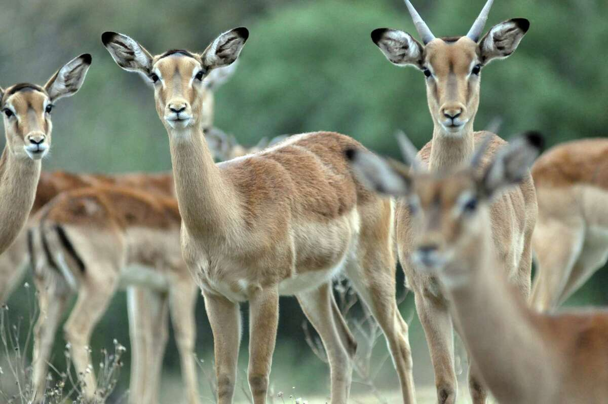 A herd of impala, an African gazelle species, observe visitors to the Cedar Hollow Ranch near Leakey, Texas. More than 13 exotic species are on the ranch, some of them endangered. Some of the animals are sold to hunting ranches to raise money for conservation efforts.