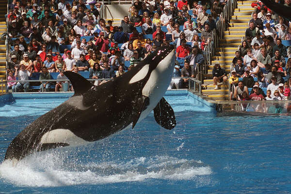 METRO-- SEAWORLD --- Namu pushes trainer Steve Aibel into the air during the first performance of the year 2000 season at Sea World of Ttexas in San Antonio, Saturday March 11, 2000. Phot by Joe barrera, Jr.