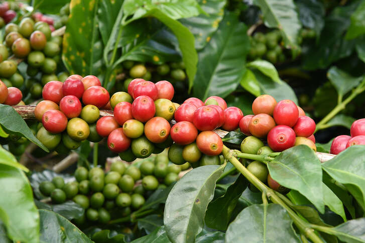 Above: Urban Harvest will include Arabica coffee plants in its annual fruit-tree sale. Top: Muscadines ripen in early August. Collecting the delicious, antioxidant-rich fruit and transforming it into jelly is a cultural and culinary touchstone for many East Texans.