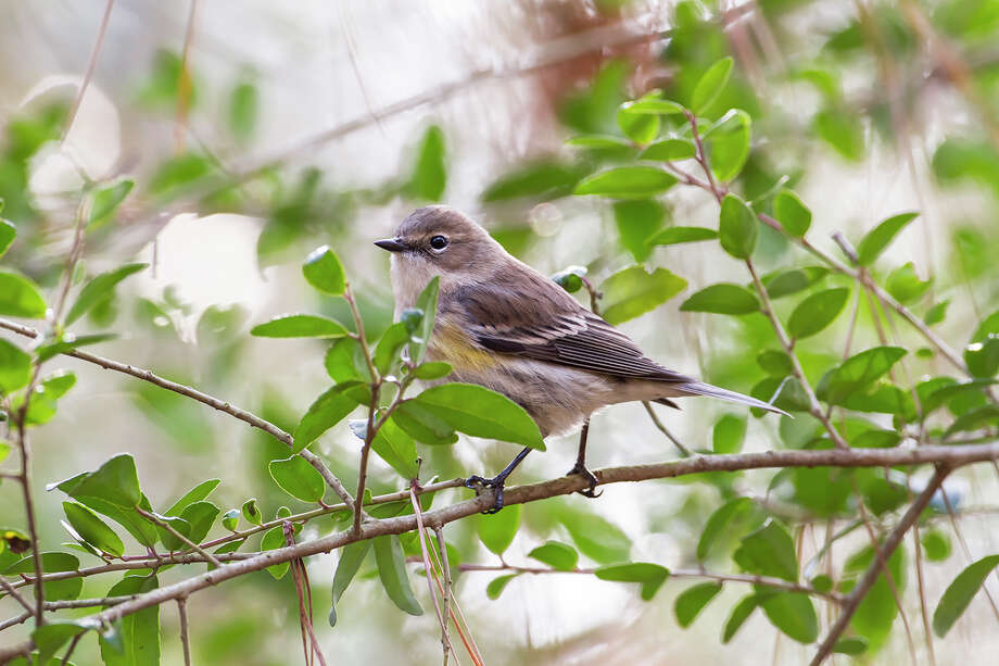 Winter bird-watching is a great way to relax and get exercise.  Birds including this yellow-rumped warbler are easy to see in barren trees. Photo: Kathy Adams Clark / Kathy Adams Clark/KAC Productions