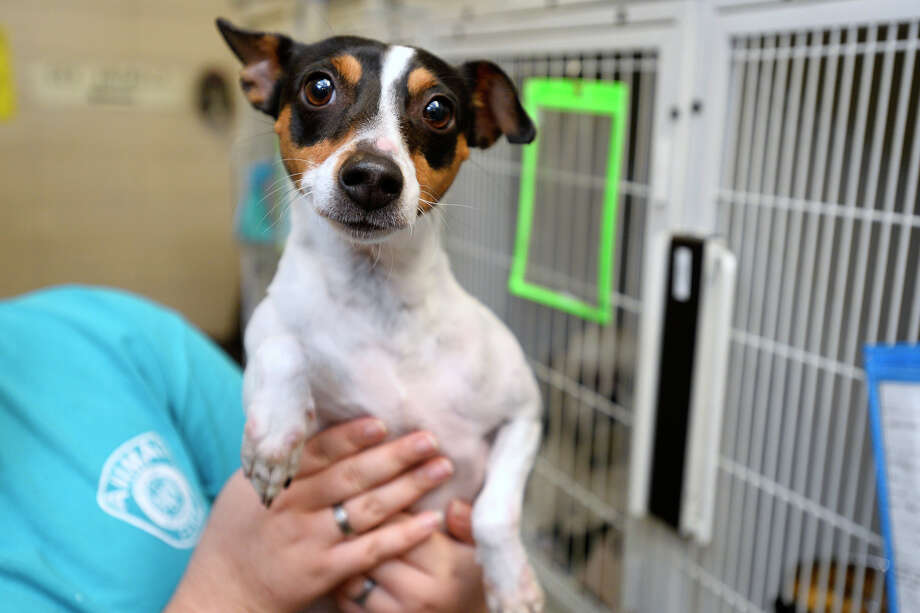 A 1-year-old female rat terrier at the Beaumont Animal Shelter on Friday.  Photo taken Friday 1/5/18 Ryan Pelham/The Enterprise Photo: Ryan Pelham / ©2017 The Beaumont Enterprise/Ryan Pelham