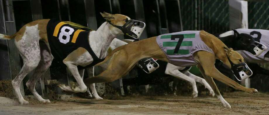 Greyhounds charging forward as they are let out of the box for the second race of the first night live racing since 2015 at Gulf Greyhound Park on Thursday, Jan. 4, 2018, in La Marque. Photo: Yi-Chin Lee, Houston Chronicle / © 2018  Houston Chronicle