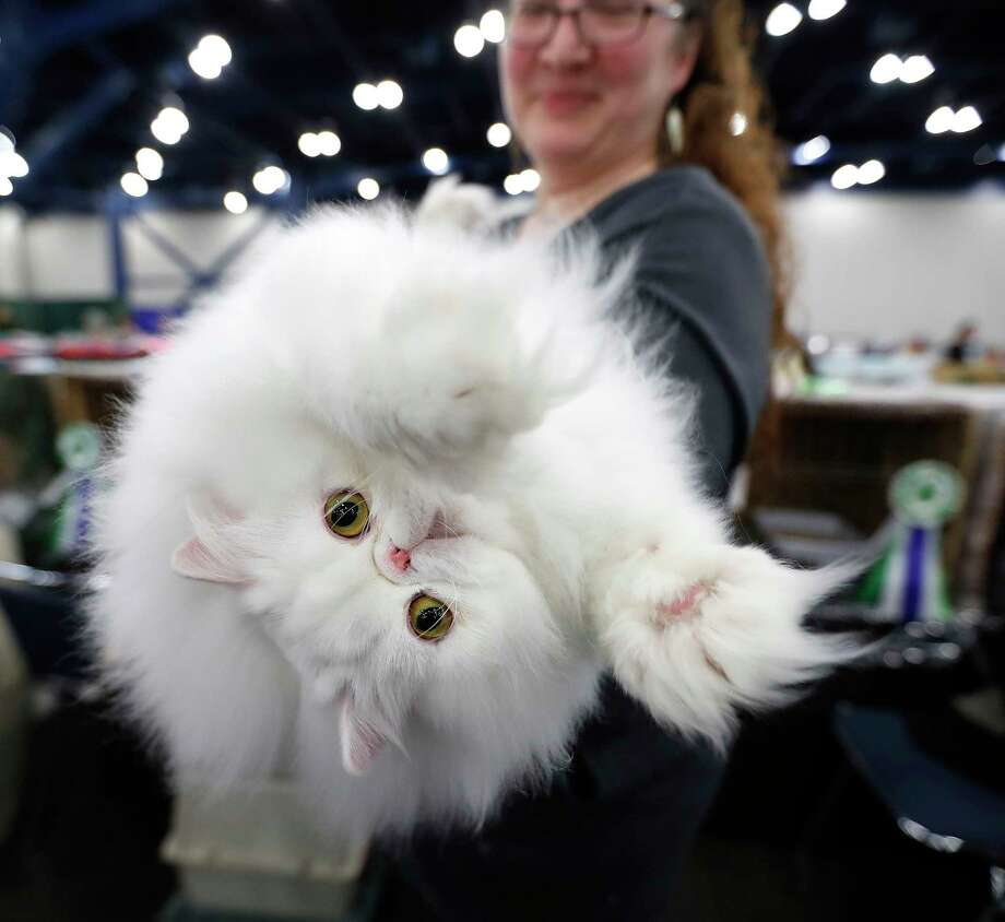 """""""Westin"""" the Persian cat reaches out as he was held by owner Carissa Altschul during the 65th annual Houston Cat Club Charity Cat Show at the George R. Brown Convention Center, Saturday, Jan. 6, 2018, in Houston.   ( Karen Warren / Houston Chronicle ) Photo: Karen Warren, Staff / © 2018 Houston Chronicle"""