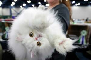 """""""Westin"""" the Persian cat reaches out as he was held by owner Carissa Altschul during the 65th annual Houston Cat Club Charity Cat Show at the George R. Brown Convention Center, Saturday, Jan. 6, 2018, in Houston.   ( Karen Warren / Houston Chronicle )"""