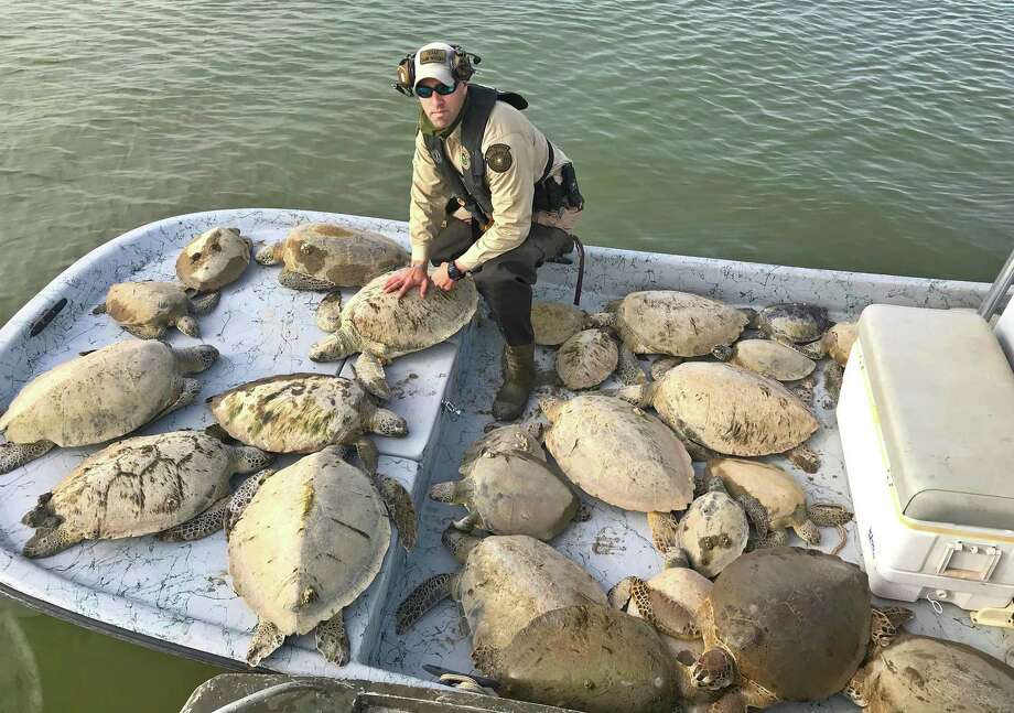 Through Friday, Texas game wardens had rescued an estimated 500 cold-stunned green sea turtles from Texas bays in wake of this past week's cold snap. More than 1,000 of the threatened turtles were saved through a cooperative effort that included Texas wardens and coastal fisheries staff, U.S. Fish and Wildlife Service, National Parks Service, NOAA and volunteers. Photo: Texas Parks And Wildlife Department Law Enforcement Division