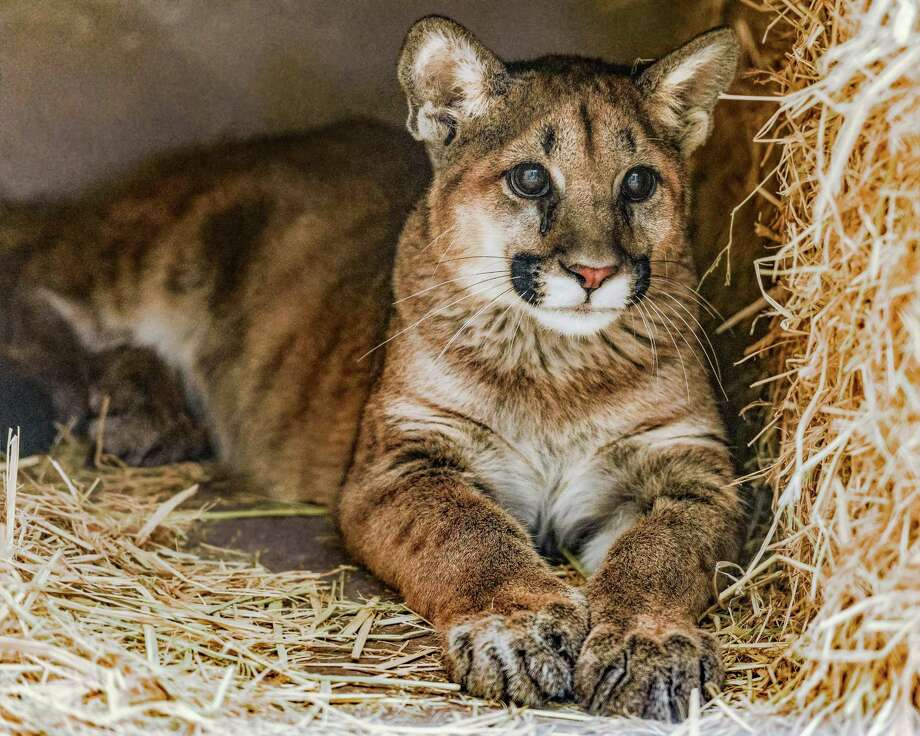 One of two male mountain lion cubs lies in quarantine in the Oakland Zoo. They were found orphaned in Orange County and will be the first mountain lions at the East Bay zoo. Photo: Steven L. Gotz / Oakland Zoo / Steven L. Gotz / Oakland Zoo / © 2017 Steven Gotz Photography