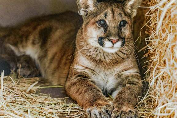 One of two male mountain lion cubs lies in quarantine in the Oakland Zoo. They were found orphaned in Orange County and will be the first mountain lions at the East Bay zoo.
