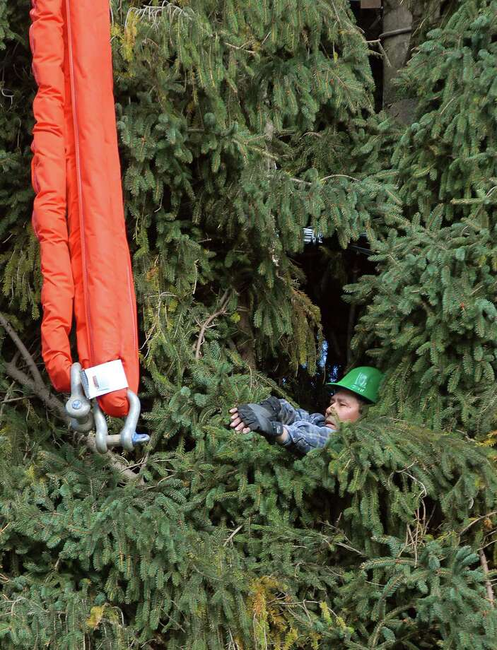 11/07/07 Photo-Peter Casolino Cas071107 Shelton--Oscar Carrara, a worker with the Torsilieri Co. (Out of Far Hills New Jersey)  prepares to attach a cable to the Rockefeller Christmas Tree as it was being cut down at the home at 67 Soundview Avenue in Shelton . Photo-Peter Casolino
