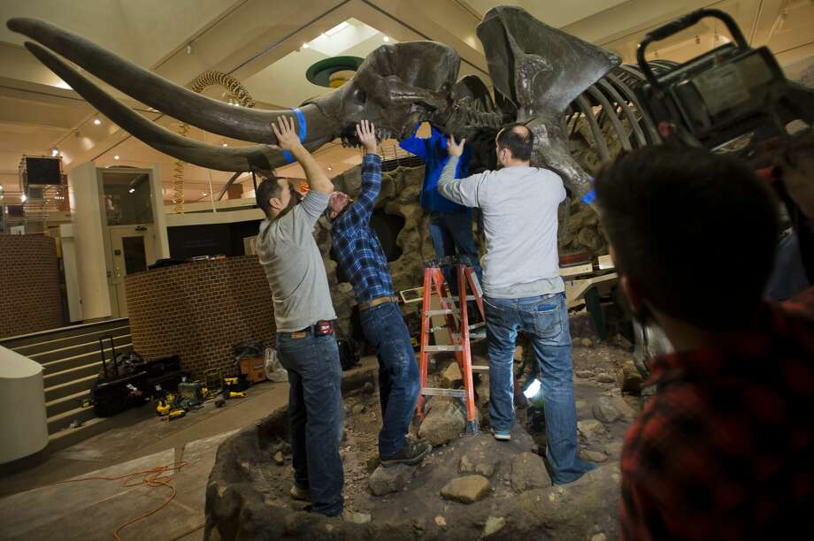 """Manny"" the mastodon skeleton is disassembled by a group from Niche Design on Sunday, Jan. 7, 2018 at the Midland Center for the Arts. The skeleton will be restored and will move to a new home at the Herbert D. Doan Midland County History Center. (Katy Kildee/kkildee@mdn.net) Photo: (Katy Kildee/kkildee@mdn.net)"