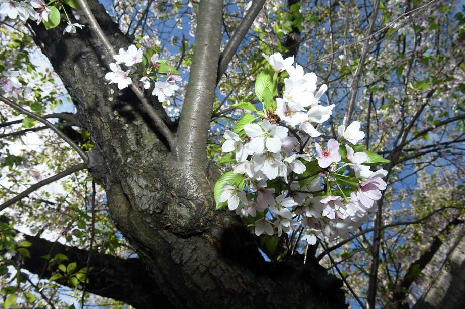 (Arnold Gold-New Haven Register)  Cherry blossoms were in bloom for the 44th annual Cherry Blossom Festival in Wooster Square in New Haven on 4/23/2017.