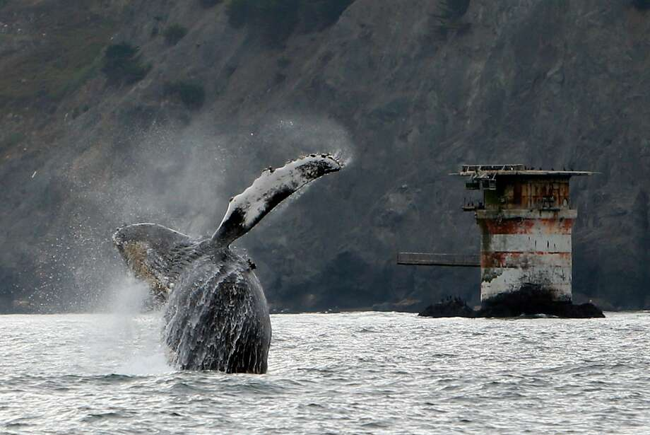 A humpback whale breaches west of the Golden Gate Bridge in San Francisco, Calif., on Saturday, Aug. 22, 2015. Photo: Scott Strazzante, The Chronicle