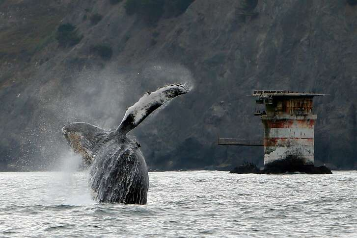 A humpback whale breaches west of the Golden Gate Bridge in San Francisco, Calif., on Saturday, Aug. 22, 2015.