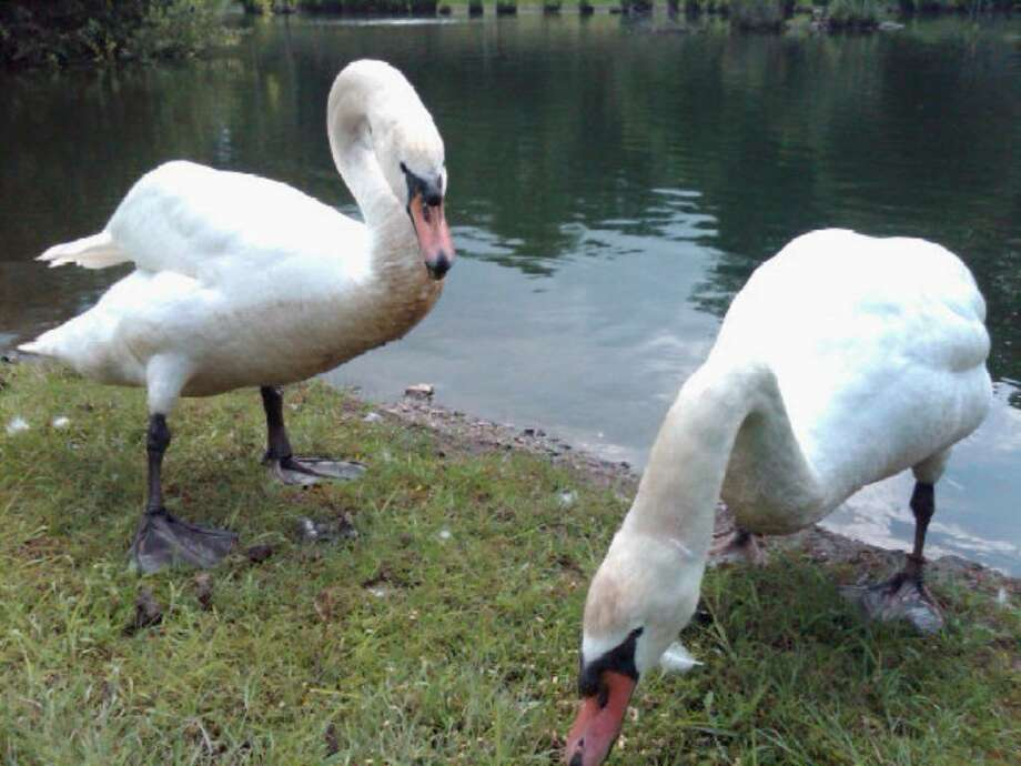 Swans Fred and Ethel in their home pond at 212 Taconic Road, seen earlier this year. The pet swans were last seen by their owners June 19. Photo: Contributed Photo, ST / Greenwich Time Contributed