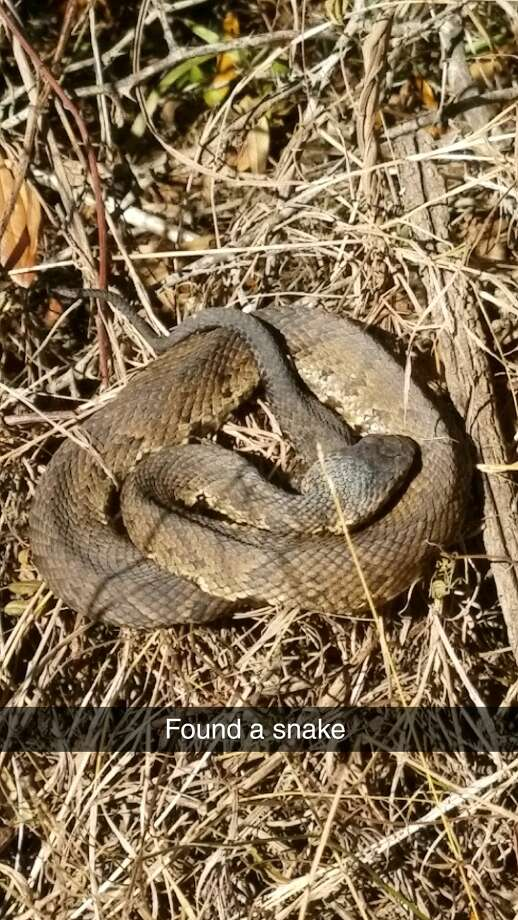 A snake identified as a water moccasin surprised a man who was walking along the marsh trail at the Battleship of Texas in La Porte.Learn more about venomous snakes in the gallery ahead.  Photo: Josh Pinkerton