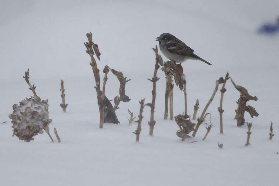 A bird rests on vegetation poking out of high snow accumulation during a snowstorm that hit the New Jersey Shore, Thursday, Jan. 4, 2018, in Ocean Grove, N.J. A massive winter storm swept from the Carolinas to Maine on Thursday, dumping snow along the coast and bringing strong winds that will usher in possible record-breaking cold. (AP Photo/Julio Cortez) Photo: Julio Cortez / Associated Press / Copyright 2018 The Associated Press. All rights reserved.