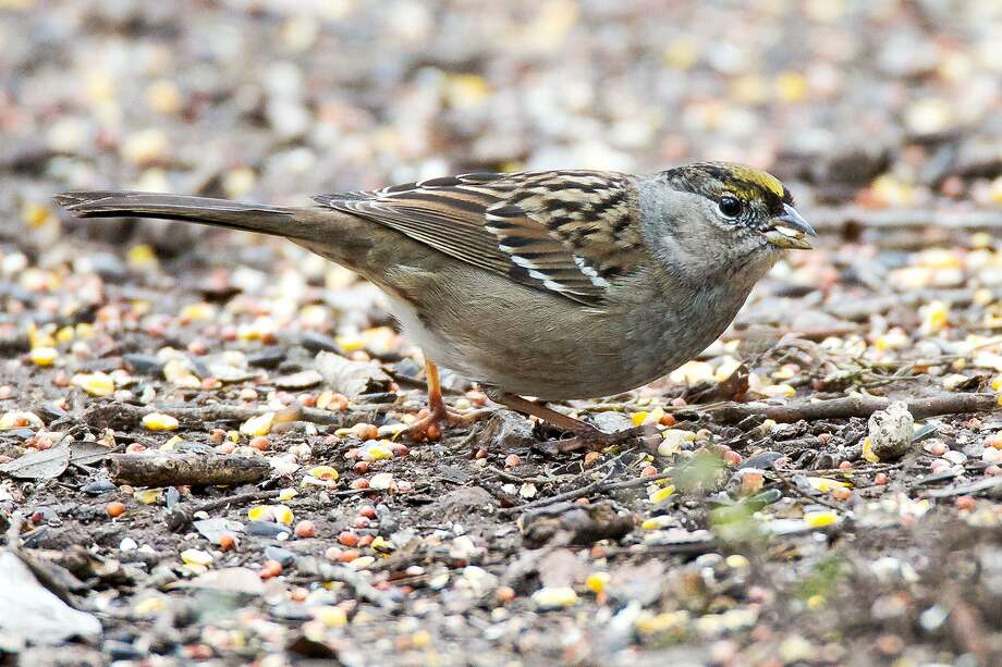 A Golden-crowned Sparrow looks around as it's observed at the Warbler Woods Bird Sanctuary in Cibolo on Friday, Dec. 29, 2017. The bird, native to the West Coast, was first observed at Warbler Woods on Dec. 11 by Joel Williams. MARVIN PFEIFFER/ mpfeiffer@express-news.net Photo: Marvin Pfeiffer /San Antonio Express-News / Express-News 2017